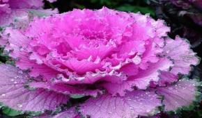 Миниатюра к статье Что за растение декоративная капуста? Особенности ее посадки и ухода в открытом грунте