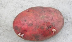 Миниатюра к статье Среднепоздний сорт картофеля Берлинка: описание и фото, правила выращивания