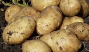 Миниатюра к статье Один из лучших среднеранних сортов картофеля – Санте. Подробная характеристика, включая правила выращивания