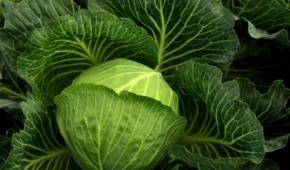 Миниатюра к статье Лучшие названия голландских и других среднеспелых сортов и гибридов капусты белокочанной и способы выращивания
