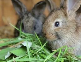 Можно ли кролику давать ботву репы