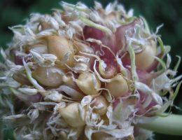 Как собирать бульбочки чеснока