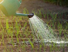 Как, когда и надо ли поливать чеснок