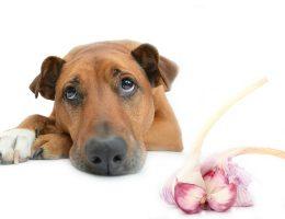 Полезен ли чеснок для собак