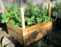 Выращивание картофеля в ящиках без дна
