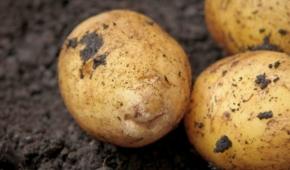 Миниатюра к статье Описание картофеля Аризона. Выращивание сорта и уход за ним
