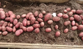 Миниатюра к статье Особенности сорта картофеля Эволюшн. Характеристика, советы по уходу и выращиванию