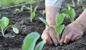 Миниатюра к статье Все нюансы посадки капусты. На каком расстоянии сажать и можно ли заглублять?