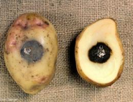 Почему чернеет картофель