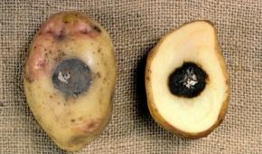 Миниатюра к статье Опасная болезнь или ошибки ухода? Почему картошка внутри чернеет?