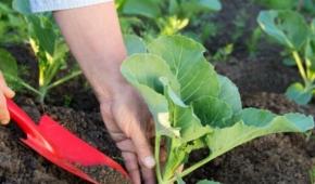 Миниатюра к статье Как удобрять капусту в июне и чем её подкормить для хорошего роста в открытом грунте? Полезные советы