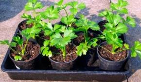 Миниатюра к статье Сроки посева корневого сельдерея. Когда сажать, в том числе на рассаду, в разных регионах?