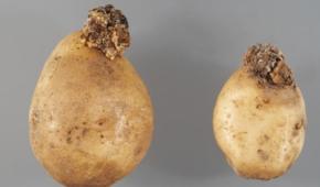 Миниатюра к статье Чума на огороде! Что такое рак картофеля и как вылечить растение?