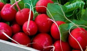 Миниатюра к статье Популярный сорт редиса «Жара»: описание и фото, советы по выращиванию