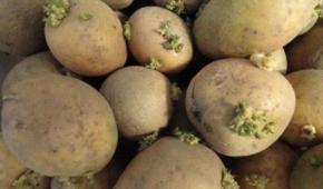 Миниатюра к статье Где икак хранить семенной картофель в домашних условиях и в погребе?