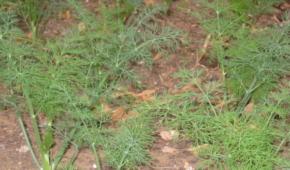 Миниатюра к статье Правильно выбранная почва – залог хорошего урожая: какую землю любит укроп, как подготовить и ухаживать за грунтом?