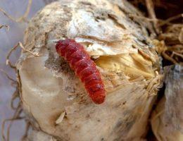 Красные и белые черви в чесноке