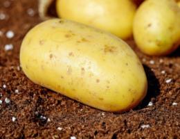 Распространенные вредители картофеля