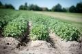 Выращивание картофеля для бизнеса