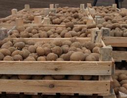 Защита картофеля от мышей и крыс